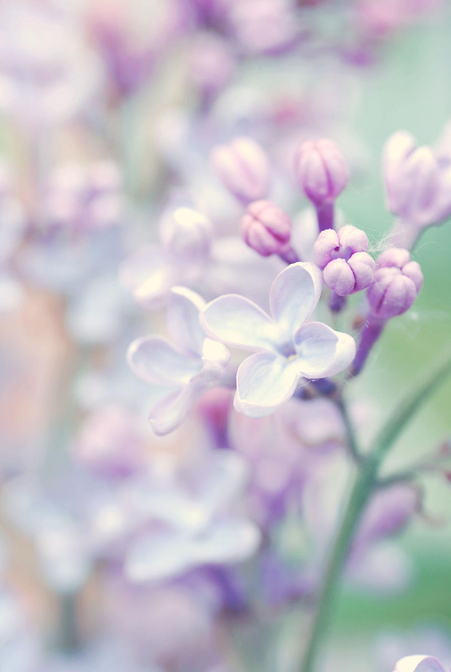 Lilac. by emshh