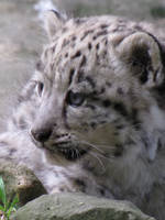 A little snow leopard by Galilea86
