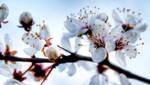 cherry bloom wallpaper by DamianDarling