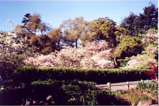 Sakura blossom in April...