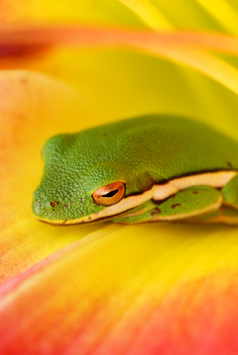 Frog in Flower by explicitly