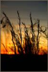 Sunset Grass