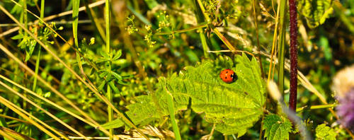 coccinelle by drouch