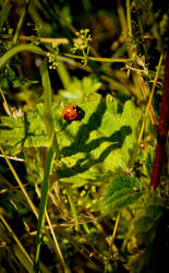Coccinellidae by drouch