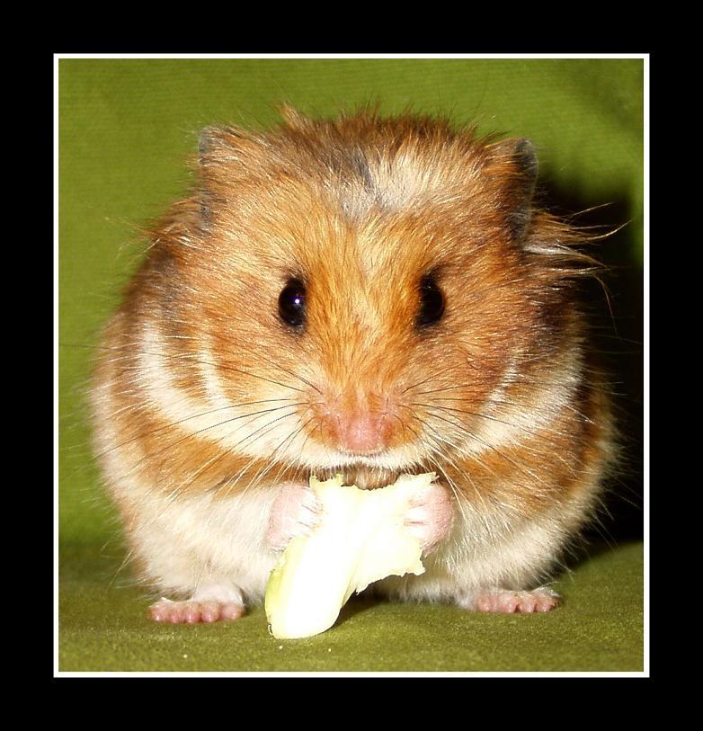 Hamster by noamjen