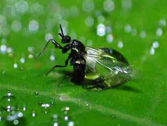 Fly trapped in water drop by MonkeymanC3