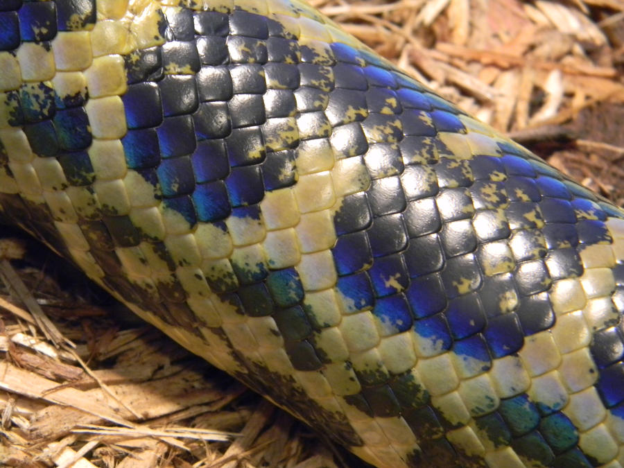 Dark-Spotted Anaconda by CrimsonArk