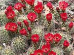 More Bloomin' Cacti