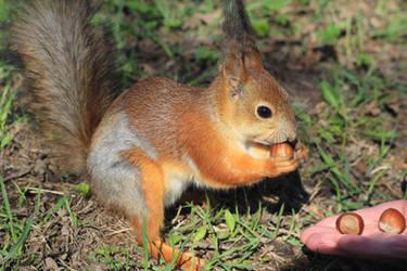 Squirrel by ketokeas