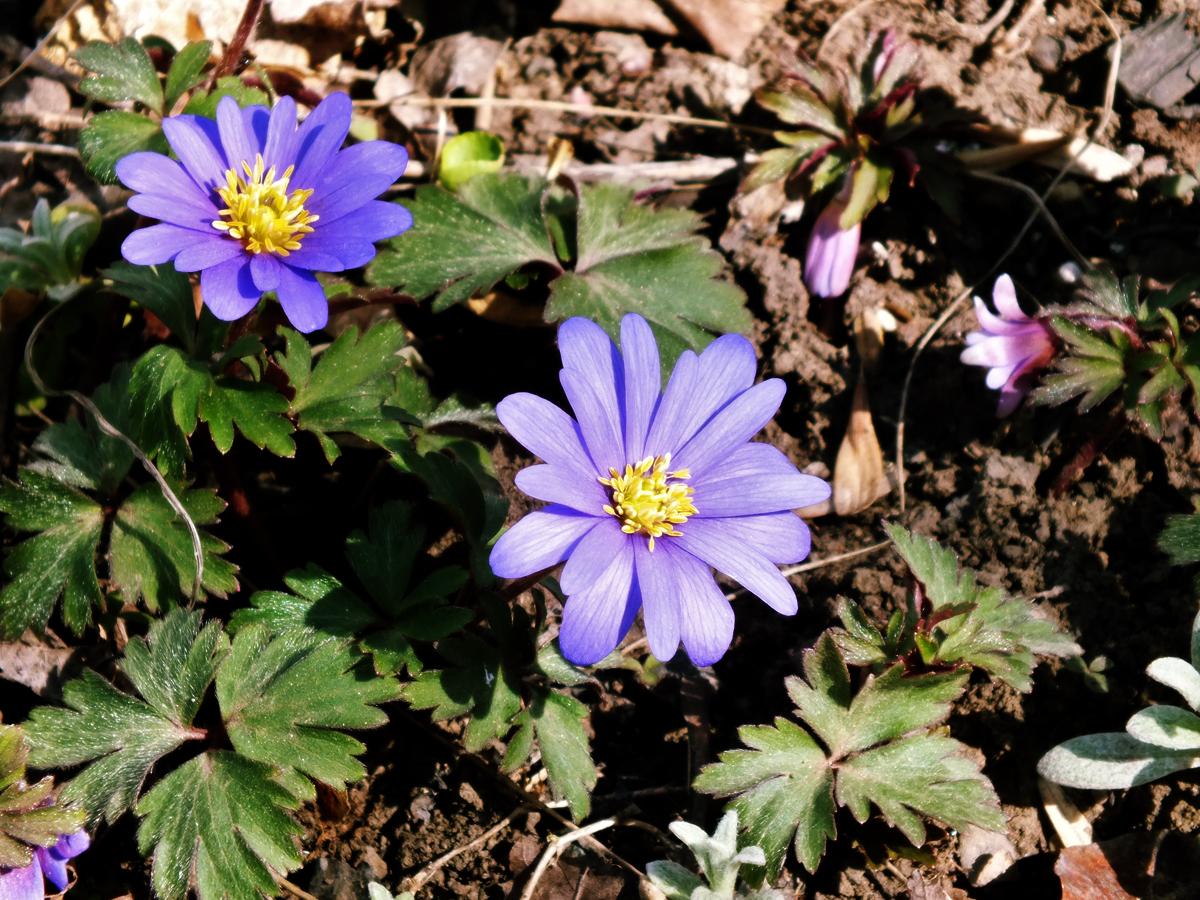 the blue anemone