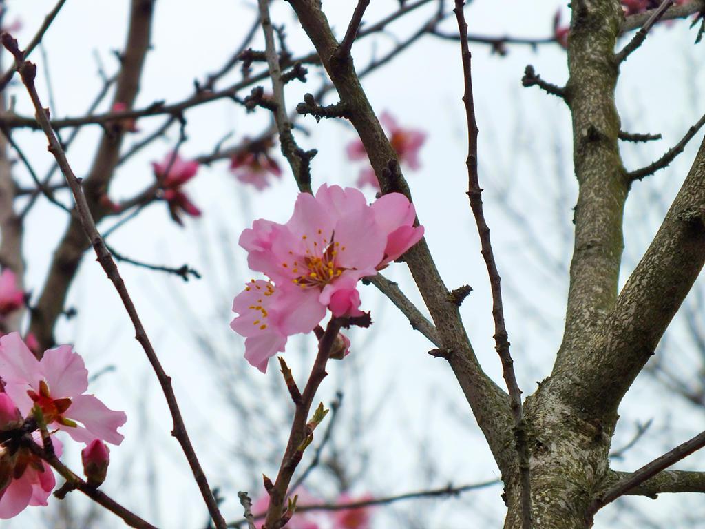 almond flowers (1)