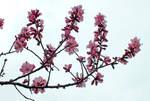 almond flowers (2)