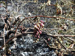 After Fire (grapes)