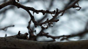 frozen branches of the trees (3)