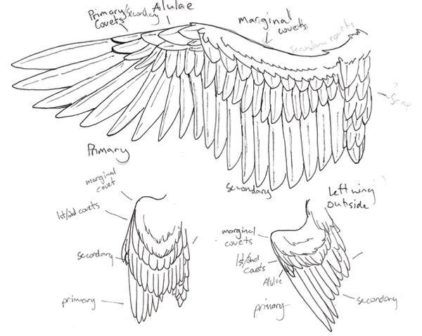 wing anatomy by Niffler13 on DeviantArt