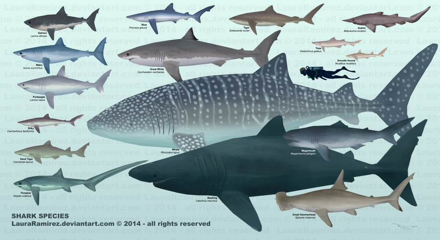 Shark Species by LauraRamirez on DeviantArt