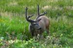 Yosemite Buck