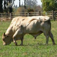 Rodeo Brahma Bull 2 by Earthmagic