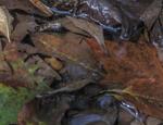 Water Snake img6343-33.3%