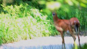 Deer6-0323mov