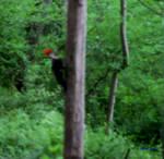 Watching Pied Woodpecker