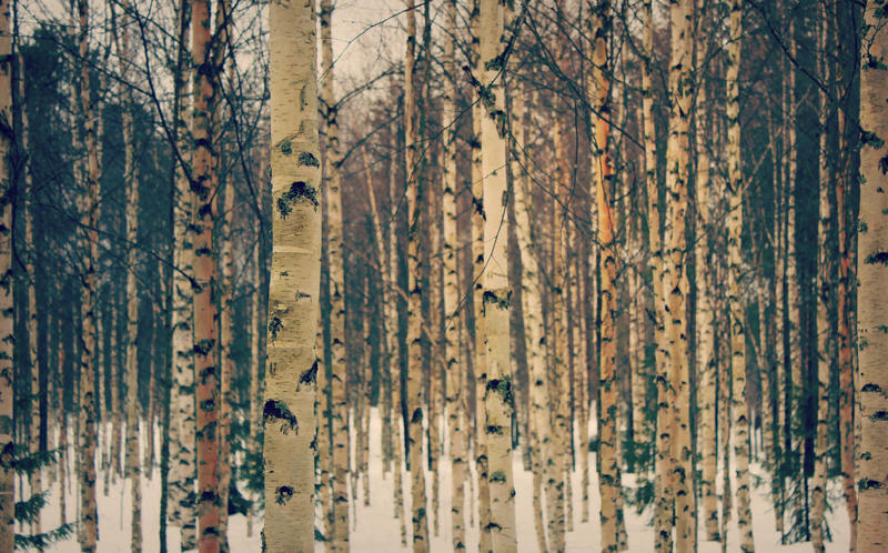birch V by i-see-faces