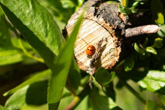 Ladybug at the lake