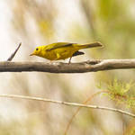 yellow male warbler