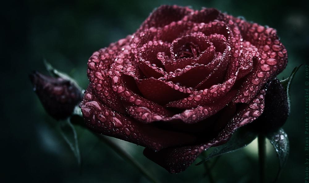 Scarlet by Taragon