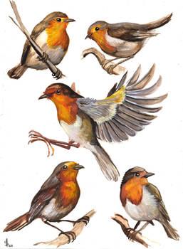 European Robin study