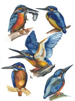 Kingfisher 04