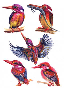 philippine dwarf kingfisher