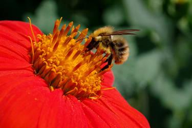 Honey bee by irrlicht71