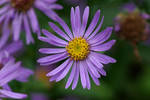 Lilac aster