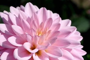 Pink dahlia by irrlicht71