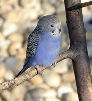 Blue Budgie by riviera2008