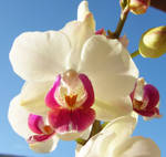 whiteand pink  orchid