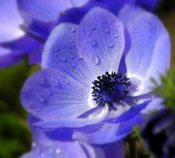 blue anemone by riviera2008 on deviantart. Black Bedroom Furniture Sets. Home Design Ideas