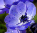 Blue Anemone by riviera2008