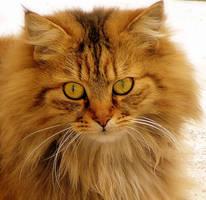 orange cat by riviera2008