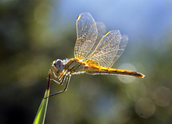 Golden Dragonfly by riviera2008