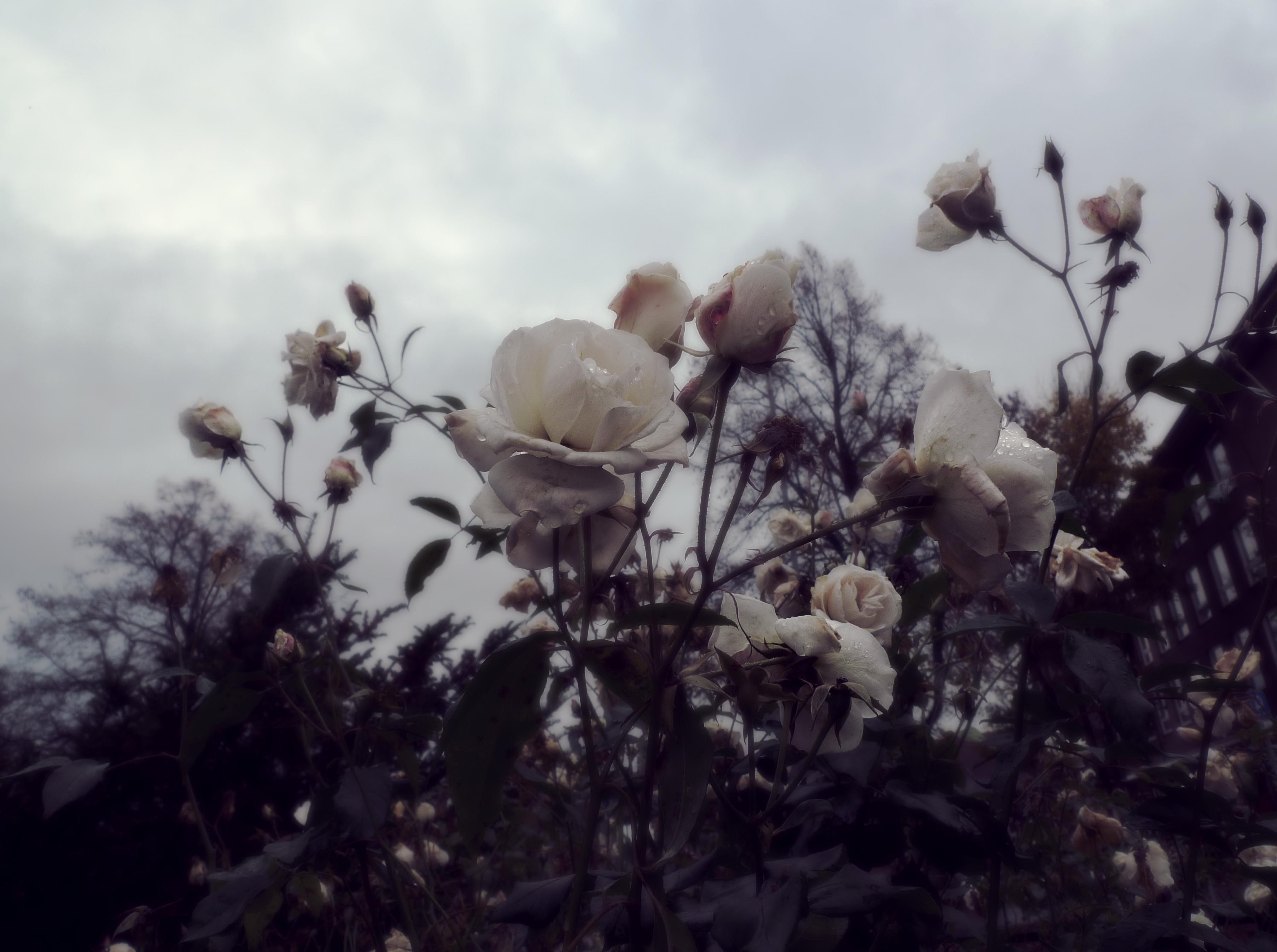 Dead Roses By Black Absinth