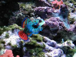 Mandarin Fish by craftywench-nh