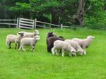 Sheep at play