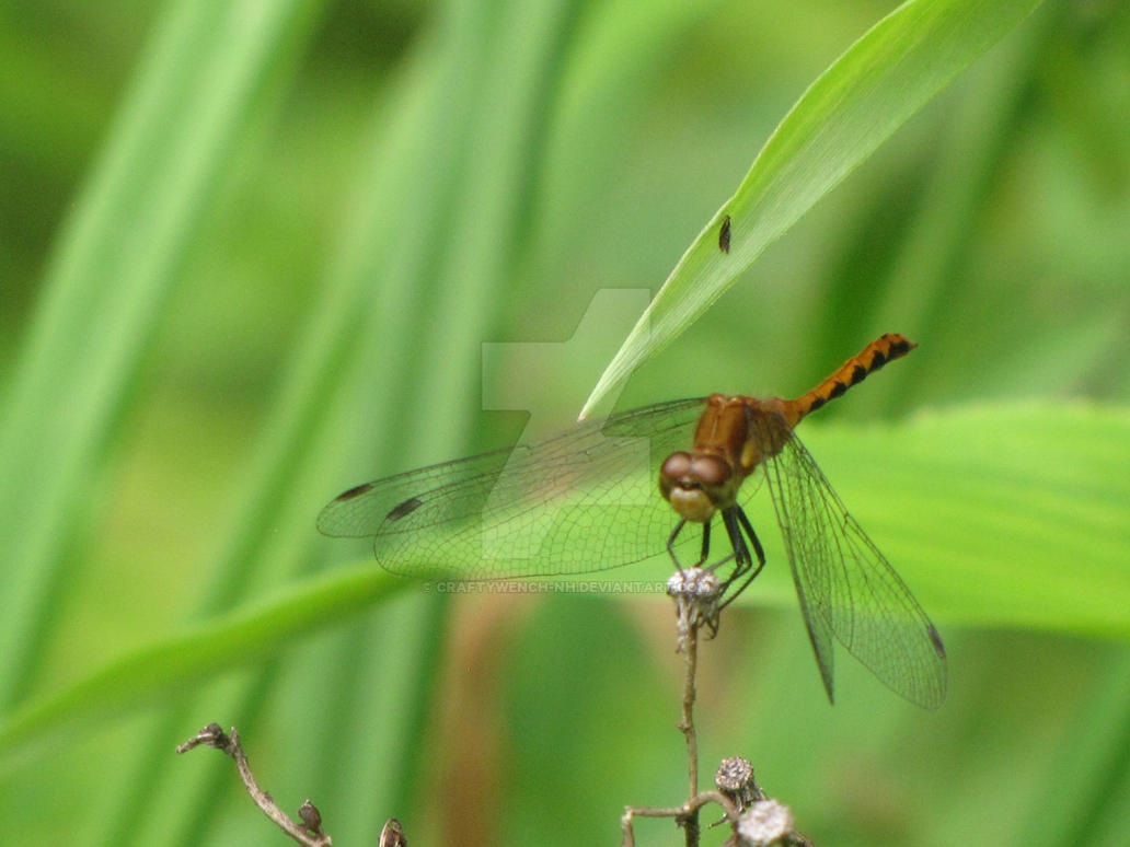 Dragonfly by craftywench-nh