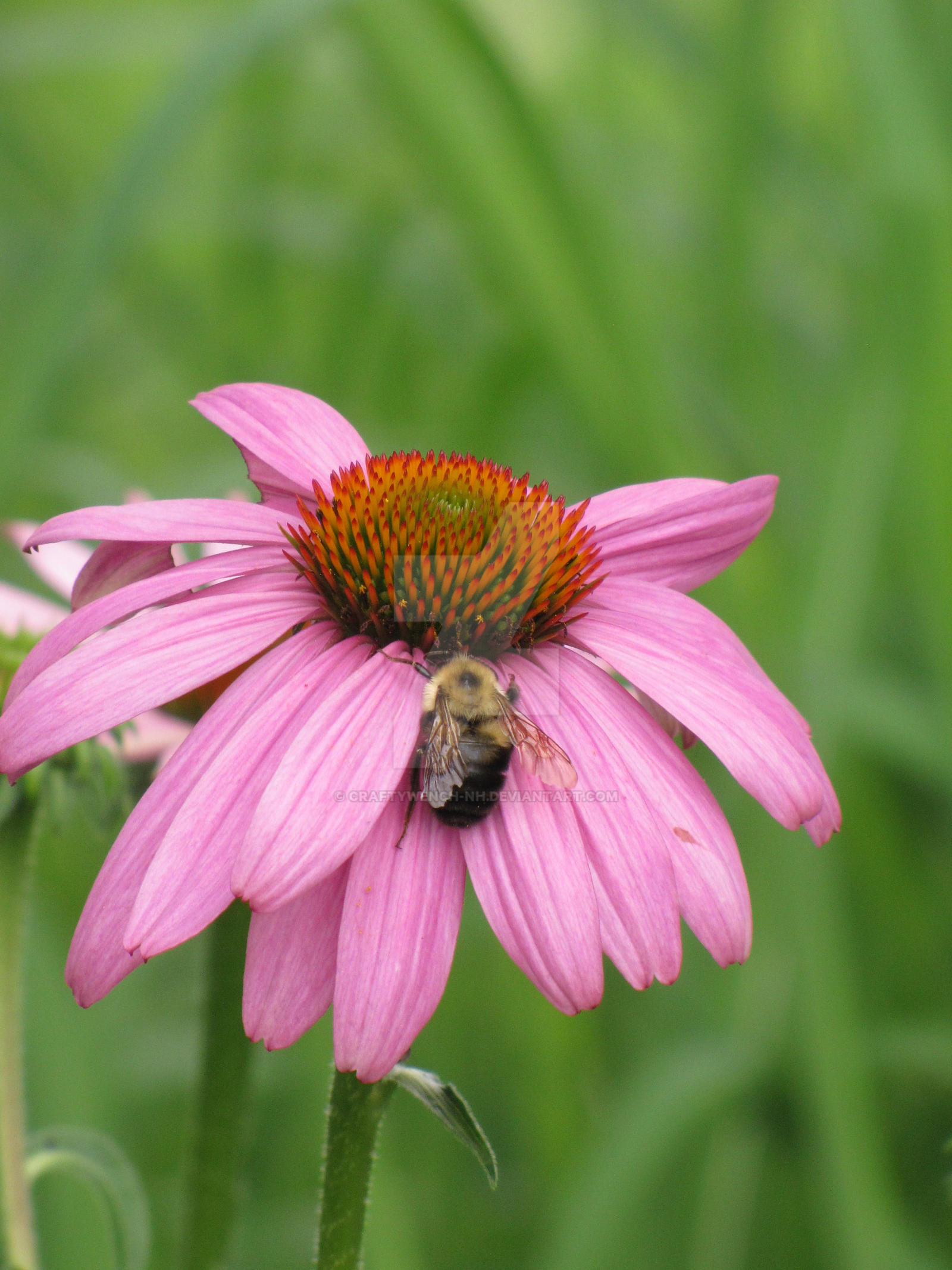 Bee on Pink Flower by craftywench-nh