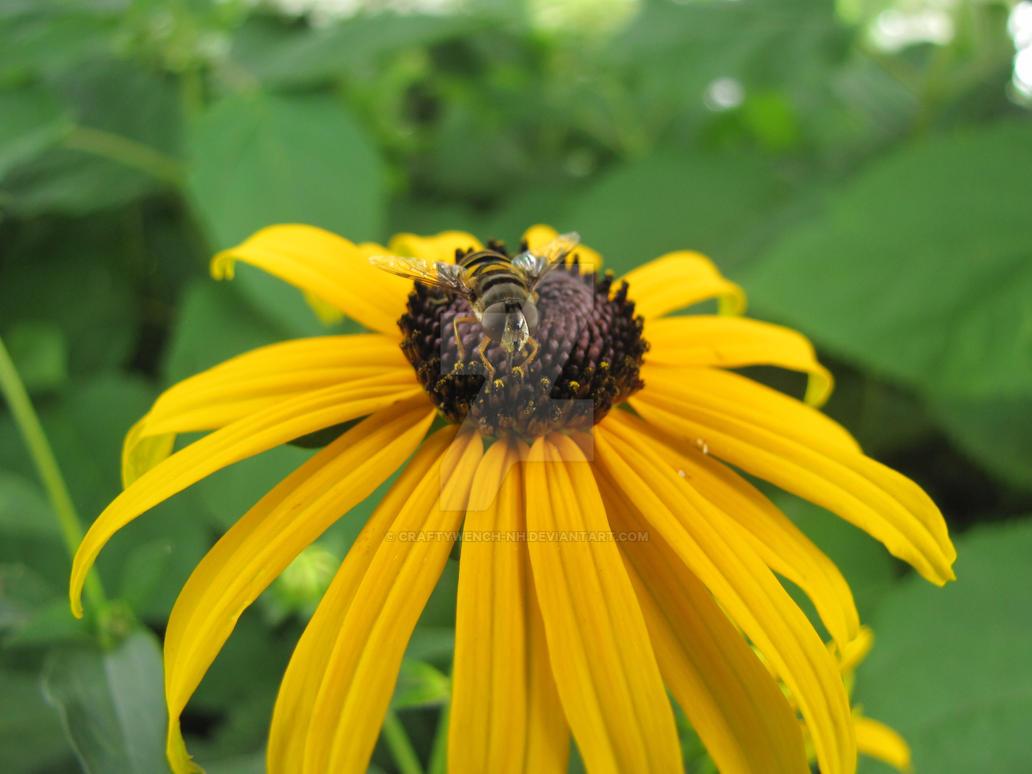 Bug on Black-Eyed Susan by craftywench-nh