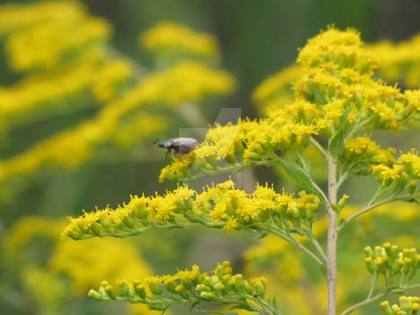 Beetle on Goldenrod