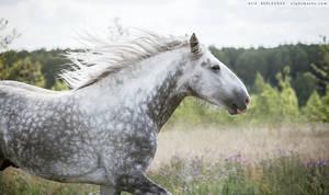 Jimbo, Shire stallion