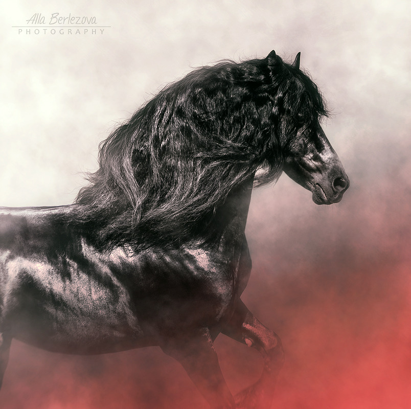 Friesian stallion Heike van de Klei by Nightmare-v